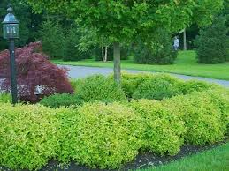 Goldmound Spirea in mass planting in Tulsa Oklahoma resized 326