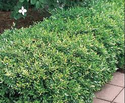Dwarf Yaupon Holly hedged in the Tulsa Landscape resized 326