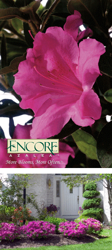 Encore vs Bloom-A-Thon Azaleas - Which are better for ...