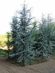 Blue Atlas Cedar group resized 326