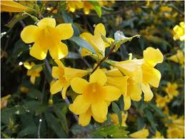 Carolina Jessamine blooms resized 326