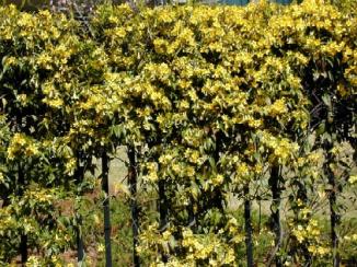 Carolina Jessamine fence resized 326