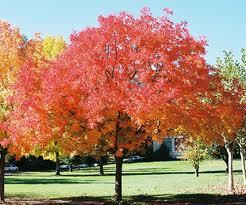 Chinese Pistache Tree For Tulsa Landscape