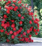 Double Knockout Rose plant resized 326