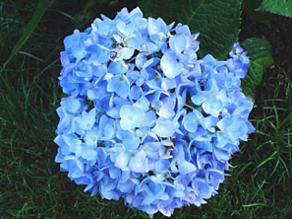 Endless Summer Hydrangea bloom resized 326