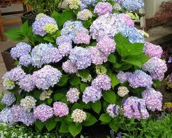 Endless Summer Hydrangea pink blue plant resized 326
