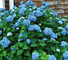 Endless Summer Hydrangea plant resized 326