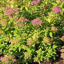Goldmound Spirea flowers  in Tulsa Oklahoma resized 326