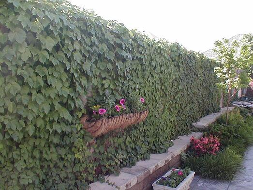 Boston Ivy planted on a greenwall