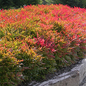 Gulfstream Nandina in Tulsa Landscapes resized 326