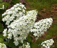 Oakleaf Hydrangea Blooms resized 326