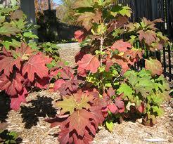 Oakleaf Hydrangea fall color resized 326