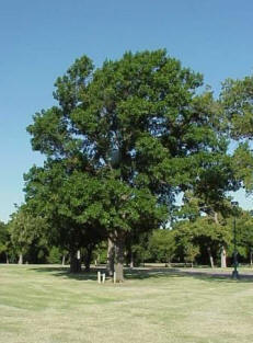 Which Oak Trees Grow Best In Oklahoma The Shumard Oak Is