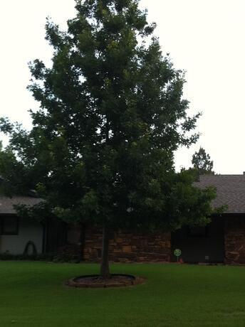Shumard Oak in Tulsa