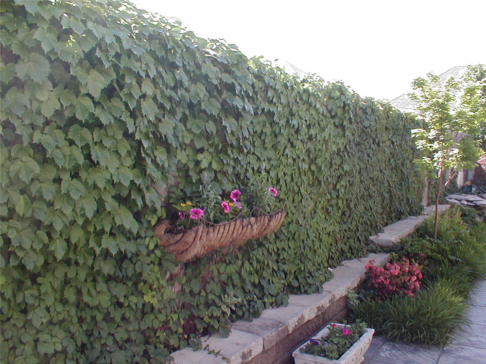 Boston Ivy on a Wood fence for a Greewall in a Narrow lot home