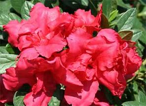 Bllom-A-Thon Red Azalea for Tulsa Landscapes
