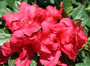 Bllom-A-Thon Red Azalea for Tulsa Landscapes