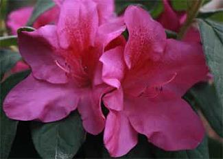Encore Azalea blooms in Tulsa Landscape
