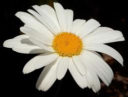 Shasta Daisy single