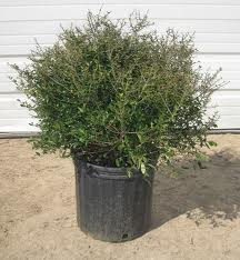 Dwarf yaupon Holly iin can