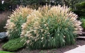 Adagio Grass