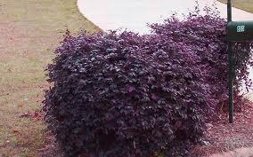 Loropetalum Medium shrub form