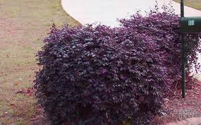 Loropetalum Medium shrub form