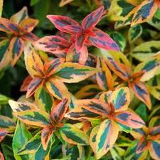 Kaliedoscope Abelia leaves