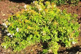 Kaliedoscope Abelia plant