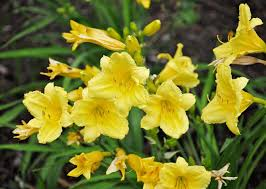Happy Returns Daylily Landscaping Tulsa2