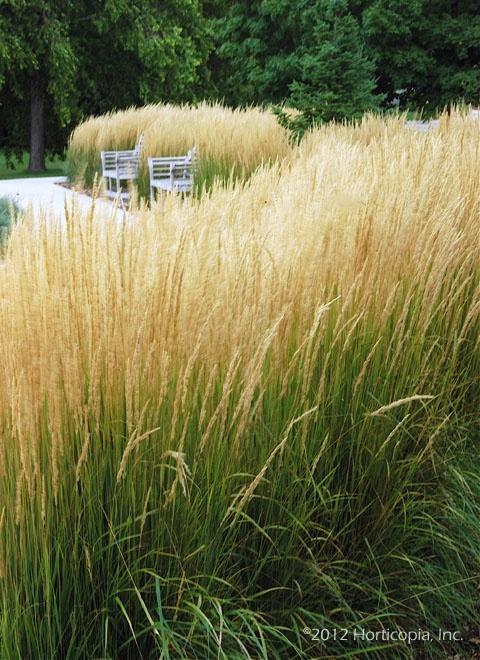 Karl_Foerster_grass_Tulsa_lLandscape.jpg
