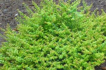 Rosecreek Abelia Landscaping Tulsa