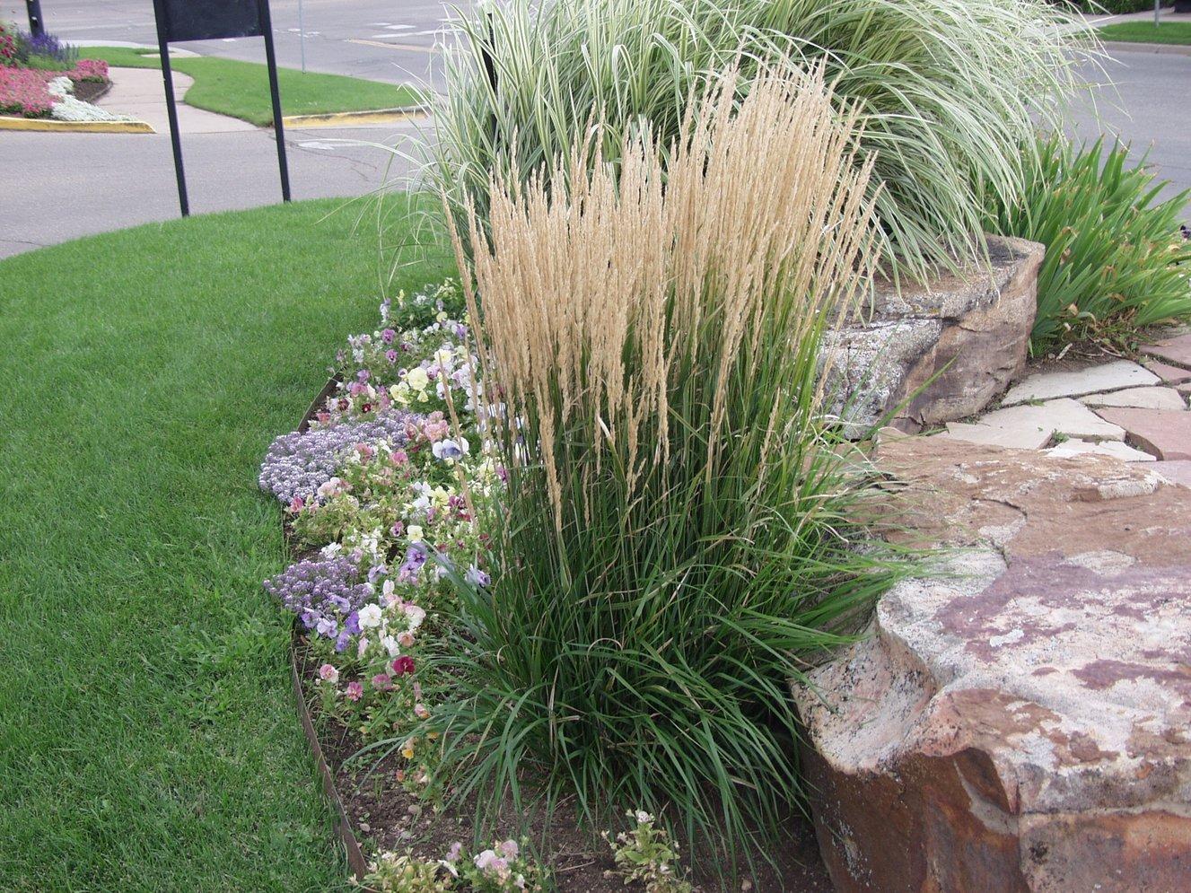 karl_foerster_grass_in_Tulsa_Landscape.jpg